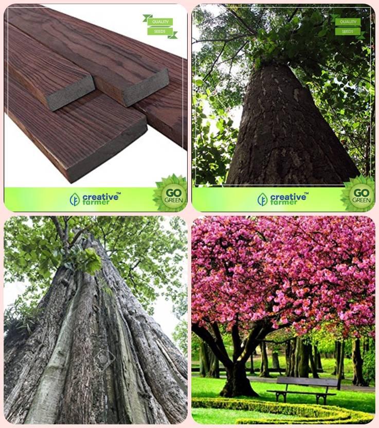 Creative Farmer Gardening Plant Tree Seeds Indian Rosewood Malabar