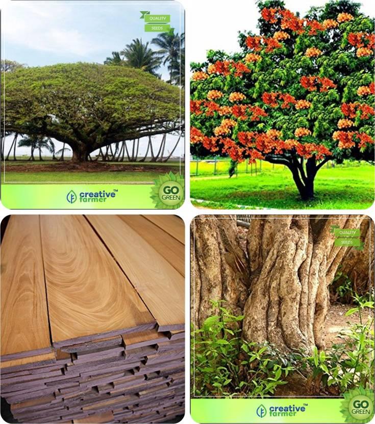 mahogany tree seeds