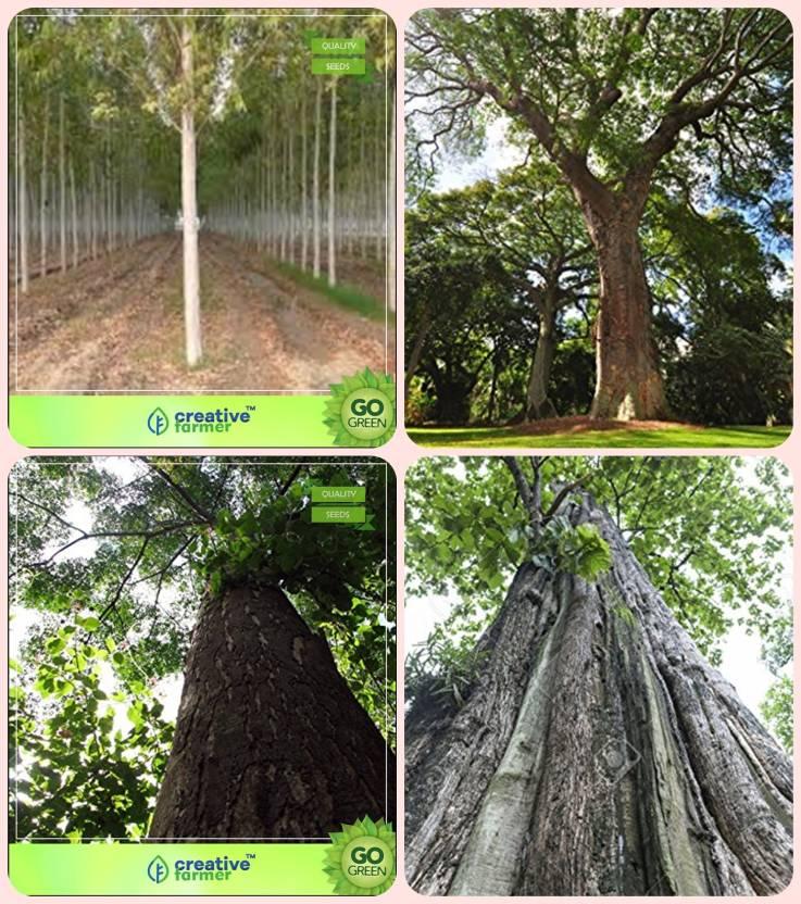 Creative Farmer Tree Seeds Indoor Mangium Indian Rosewood