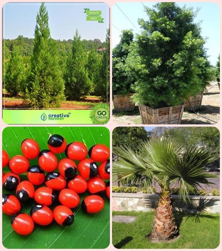 Creative Farmer Plant Seeds Japanese Cedar Podocarpus Gracillior