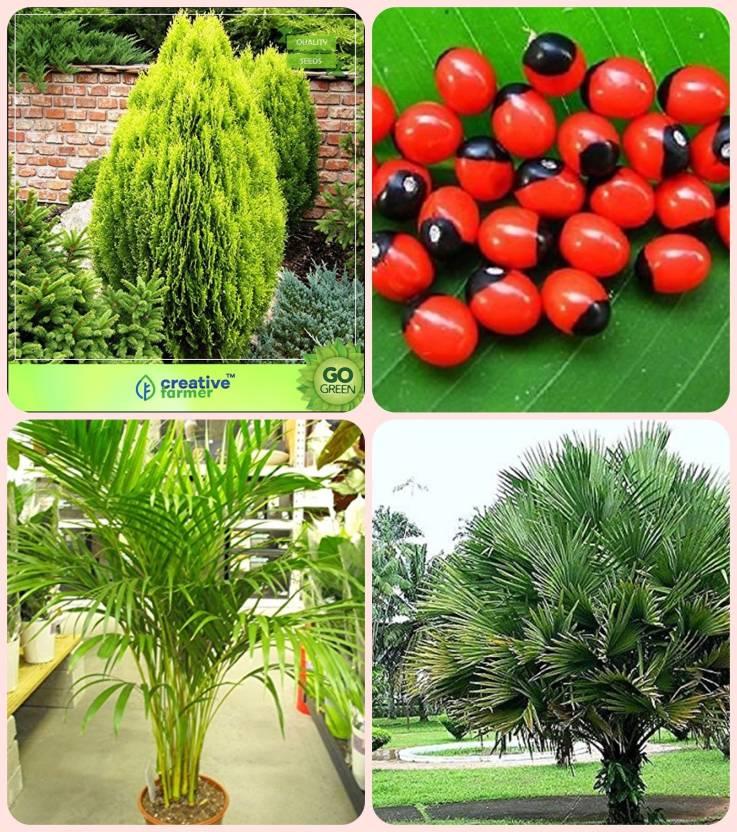 Creative Farmer Gardening Seeds Thuja Orientalis Abrus Precatorius