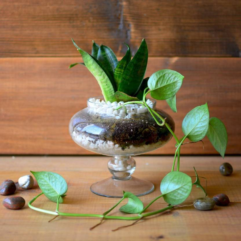 Mybageecha The Money Goblet Terrarium Kit Plant Price In India Buy