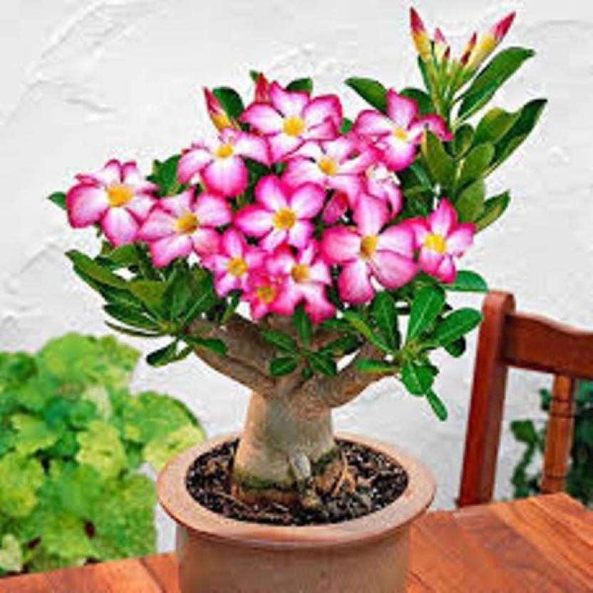 Rosemerc Adenium Desert Rose Flower Plant Seed 10 Per Packet