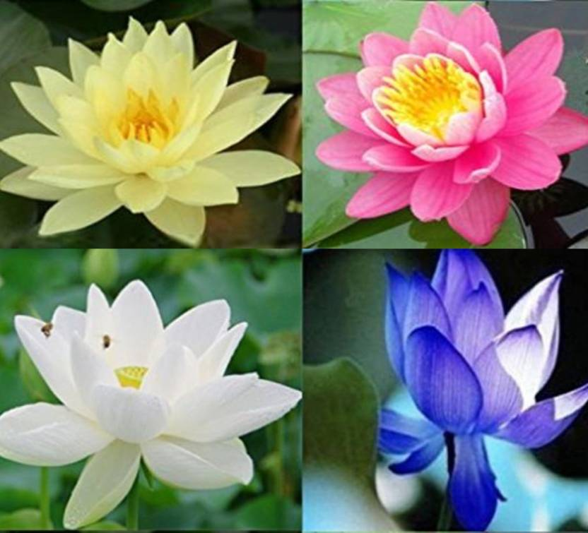 Rosemerc Imported Yellowpinkwhiteblue Lotus Seed Price In India