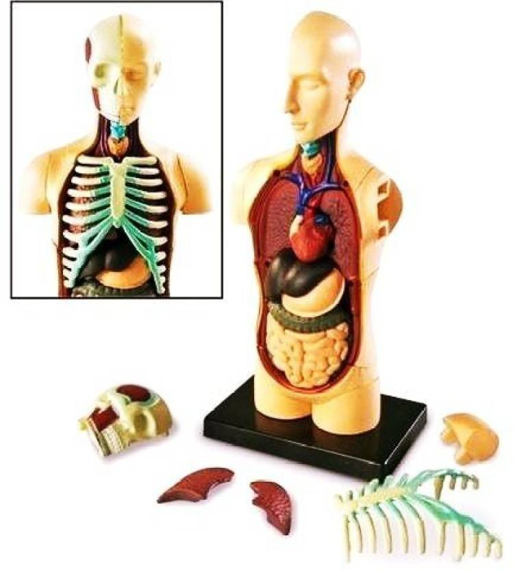 Generic Human 4d Body Torso Anatomy Model Organs Science Biology
