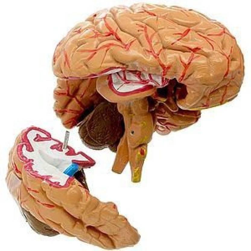 Anatomical Human Brain Model Price In India Buy Anatomical Human