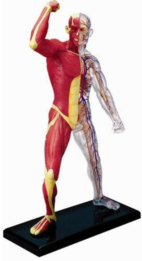 Go Science Human Muscle And Skeleton Anatomy Model Price In India