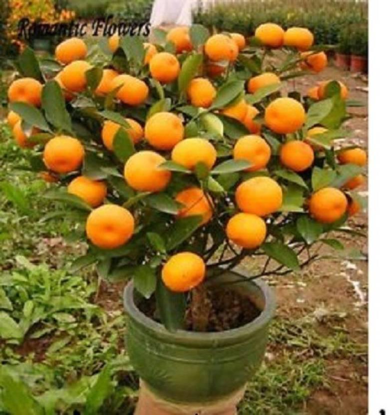 Elif Bonsai Imported MANDARIN ORANGE PLANT Seed Price in