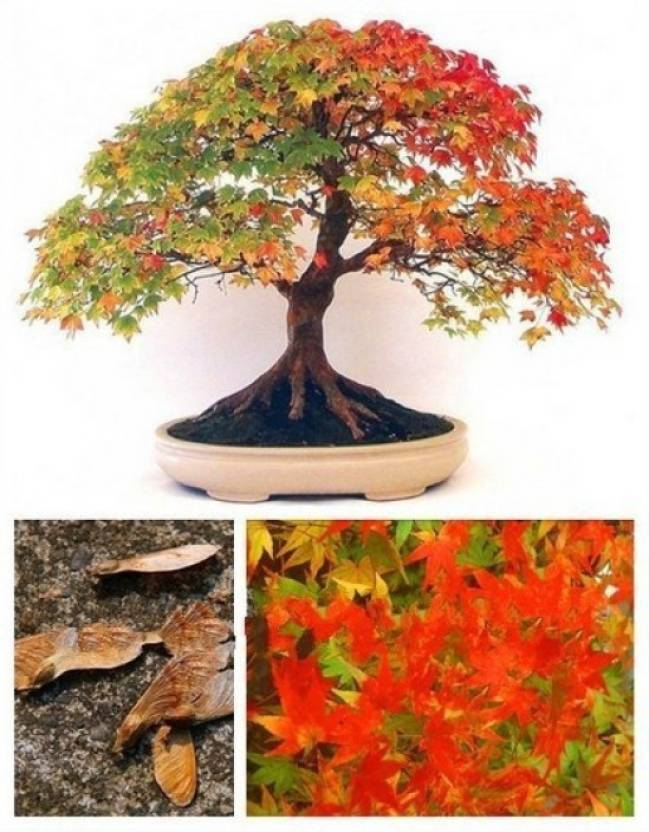 Priyathams Bonsai Colorful American Maple Seed Price in