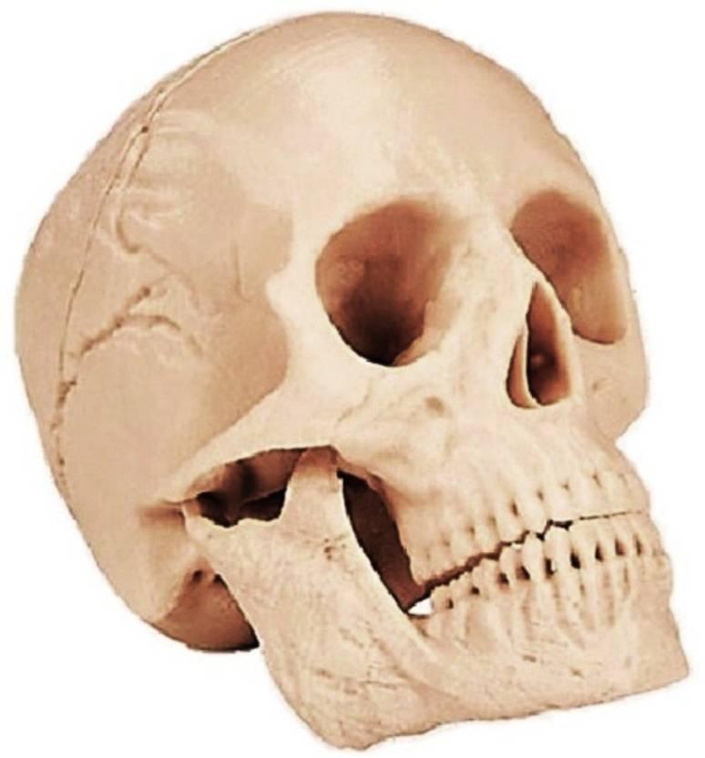 Prototype Human Skull Anatomy Model Anatomical Body Model Price In