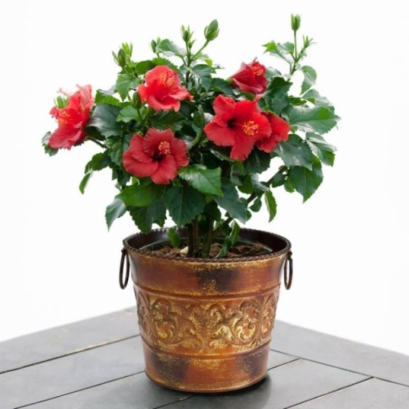 Elif Imported Exotic Potted Hibiscus Plant Seed Price In India Buy