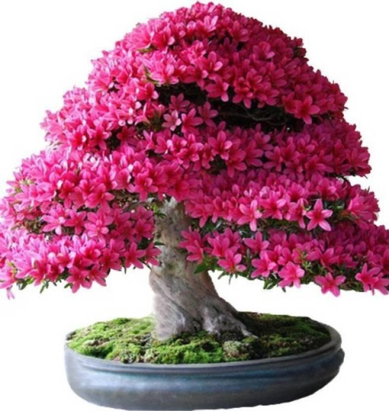 Elif Imported Bonsai Japanese Sakura Plant Seed