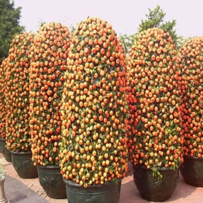 Bonsai Orange Tree Care Bonsai Tree