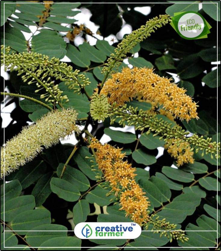 Creative Farmer Tree Seeds Shade Tree Red Sandalwood Seeds For
