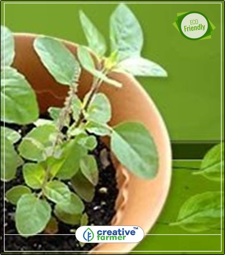 Creative Farmer Holy Indian Tulsi Herb Seeds For Home Garden Kitchen