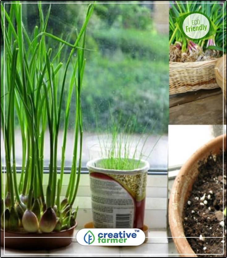 Creative Farmer Indian Garlic Chives Herb Seeds For Kitchen Garden
