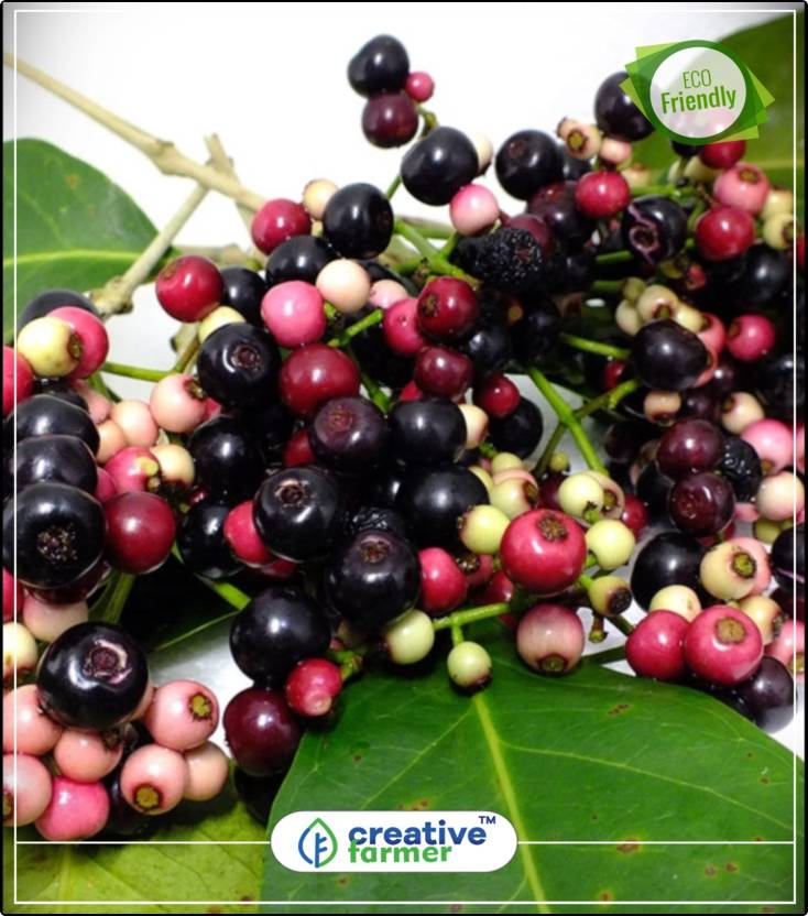 Creative Farmer Fruit Seeds Black Jamun Jam Jambolan Syzygium