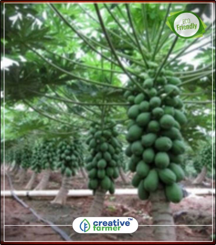 Creative Farmer Papaya Tree Open Pollinated Selected Variety High Yielding Gaint Plant Seeds For All Seasons