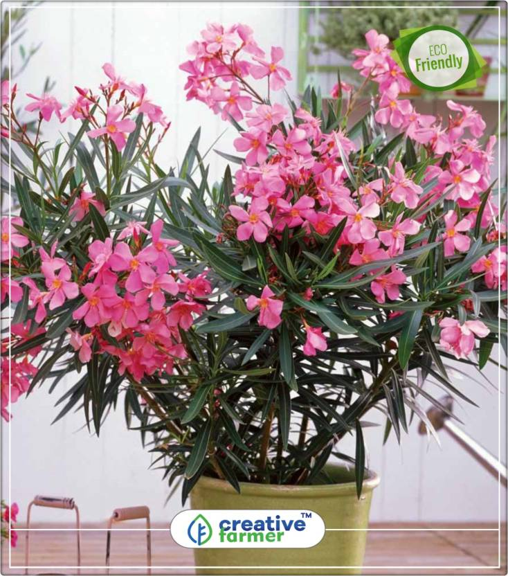 Creative Farmer Nerium Oleander Seeds Pot Variety Flowering Trees Of India Kitchen Garden Plant 5indoor