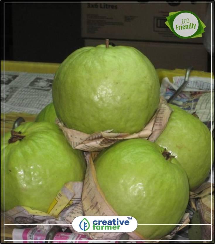 Creative Farmer Fruit Seeds Giant Guava Fruit Dwarf Variety