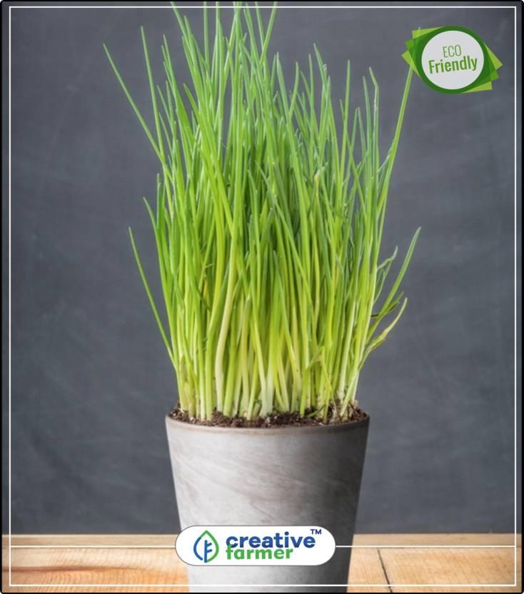 Creative Farmer Chives Indoor Garden Herb Seeds For Kitchen Garden