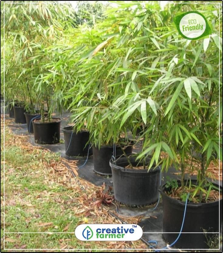 Creative Farmer Fresh Giant Moso Bamboo Seeds For Diy Home