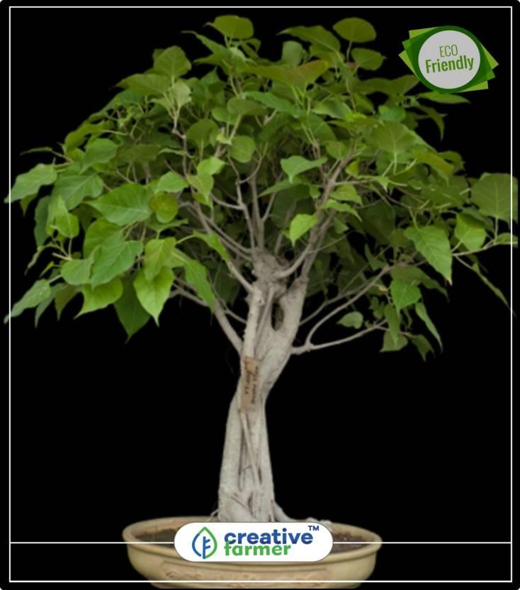 Creative Farmer High Oxygen Producing Tree Asvattha - Pipal