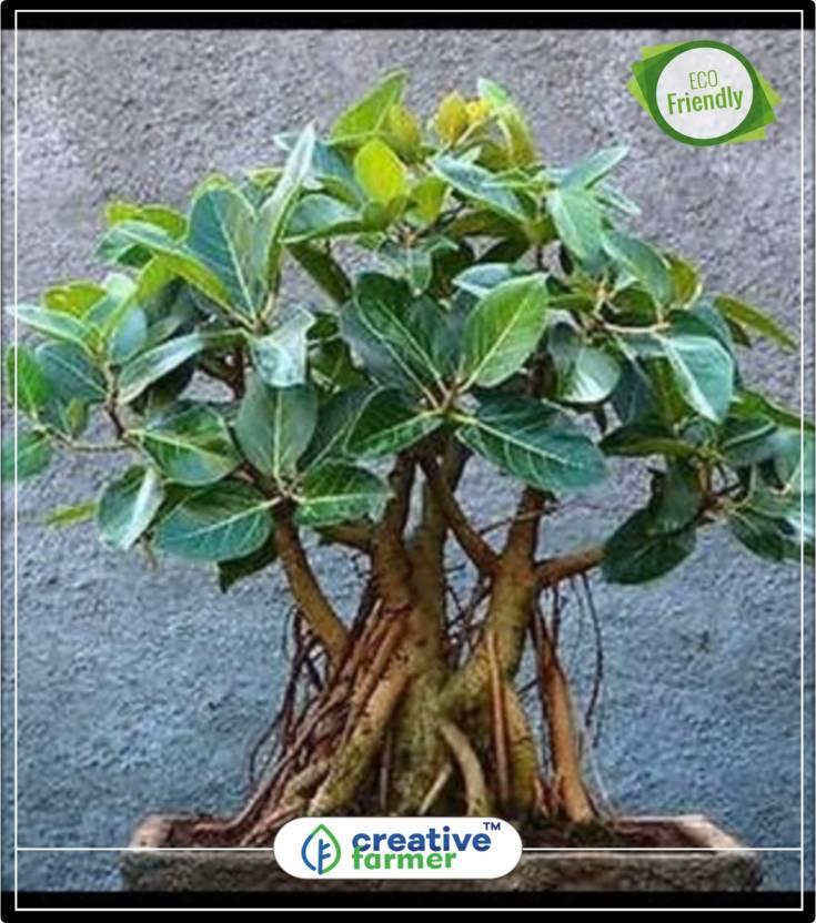 Creative Farmer Banyan Bonsai Tree Indian Strangler Fig Tree Seeds