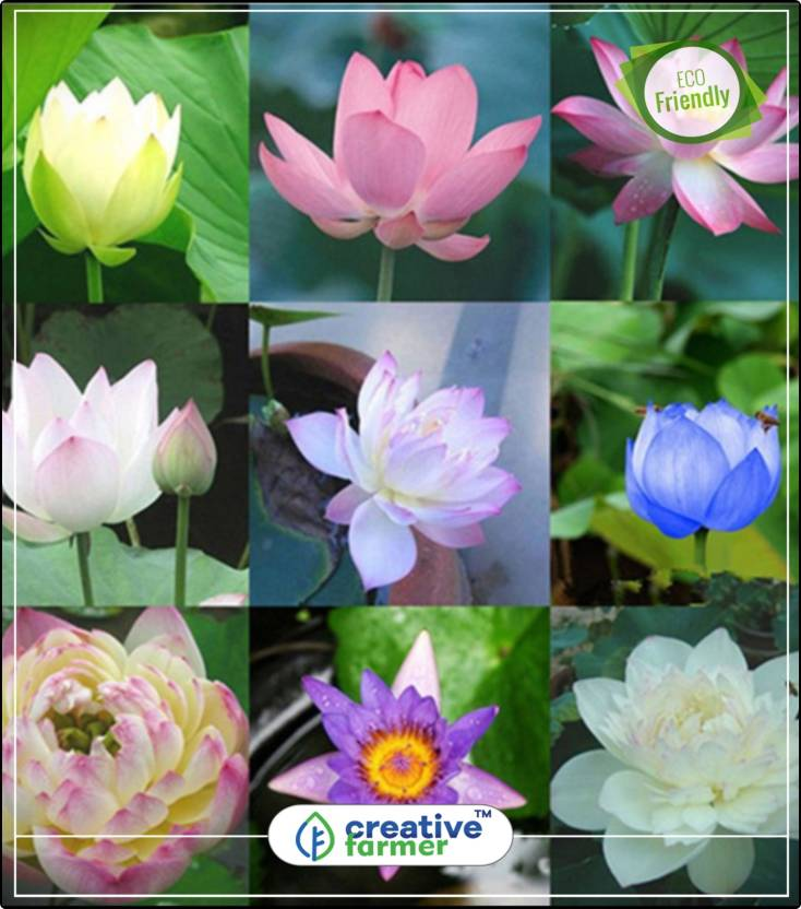 Creative Farmer Lotus Flower Seeds Mixed Varieties Flower Seed For