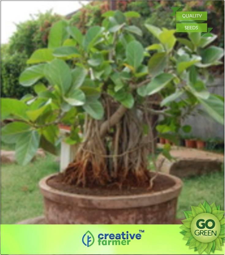 Creative Farmer Banyan Tree Seed