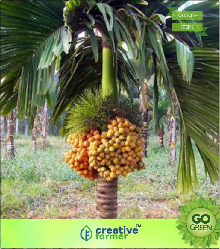 Creative Farmer Dwarf Betel Nut Palm Areca Catechu Ready To Plant Seeds Seed