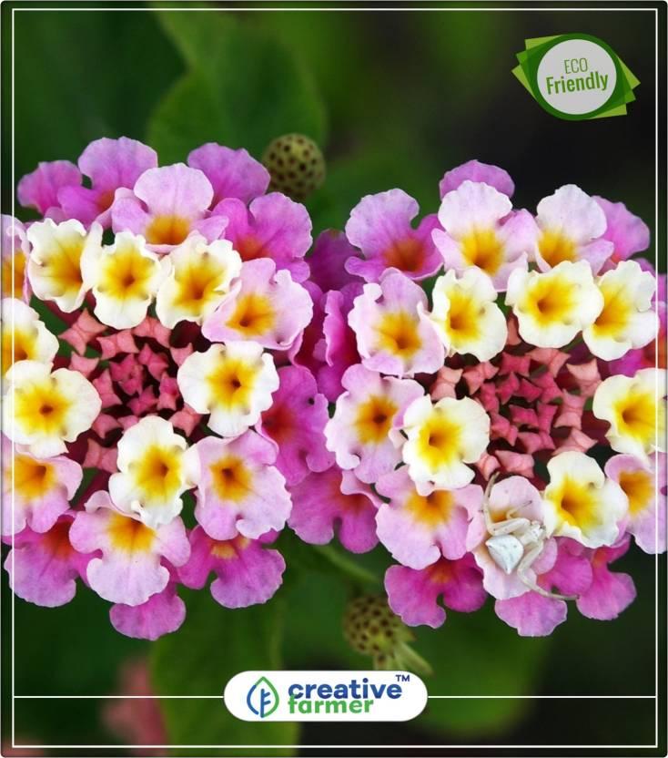 Creative Farmer Lantana Camara Raimuniya Flower Plant Seeds Kitchen
