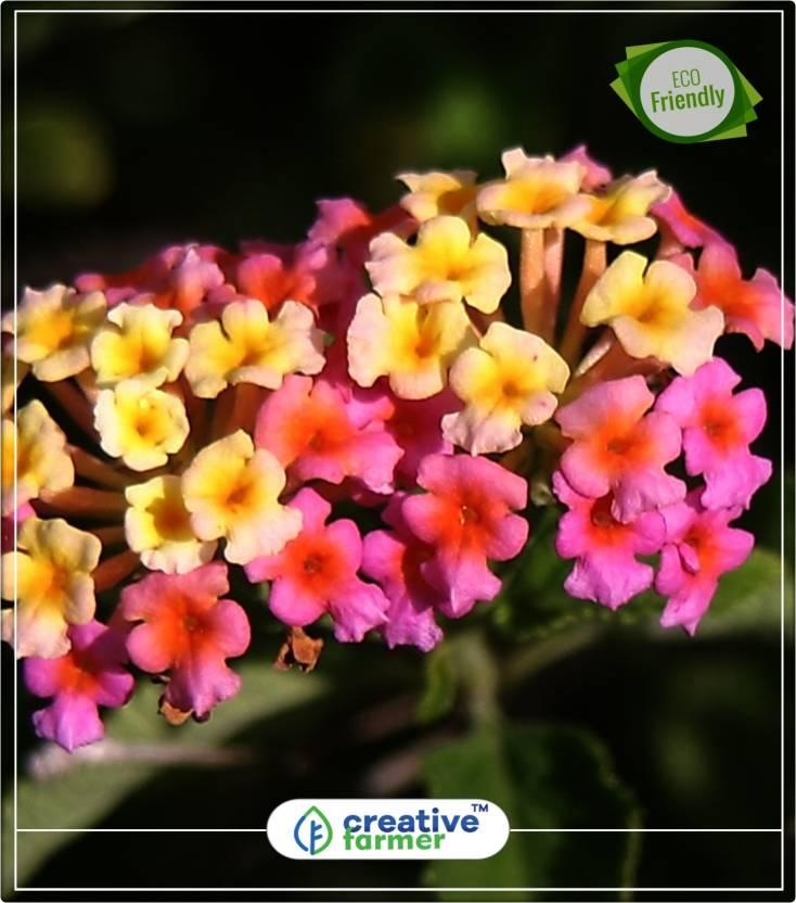 Creative Farmer Lantana Camara Tantani Pinkish Flower Plant Indoor