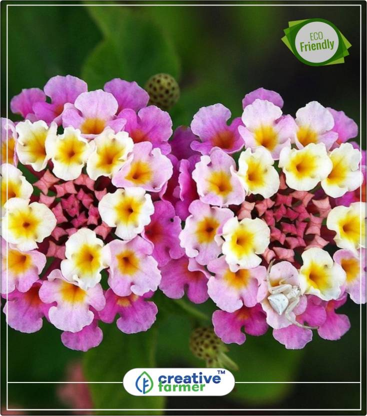 Creative Farmer Lantana Camara Ghaneri Flower Seeds For Summer