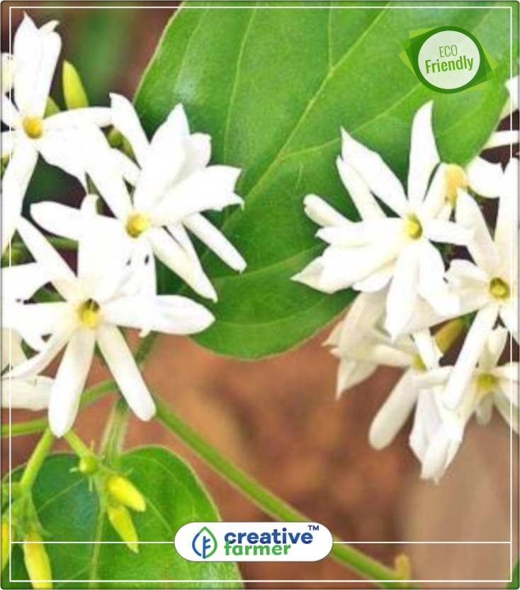 Creative farmer parijaat or harsingar small ornamental tree with creative farmer parijaat or harsingar small ornamental tree with fragrant white flowers flowering seeds for mightylinksfo