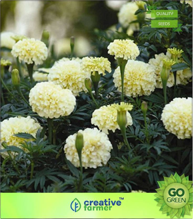 Creative Farmer Best Selling White Marigold Seeds Seed Price In