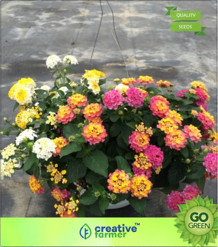 Creative Farmer Perennial Lantana For Hanging Container Seed Price