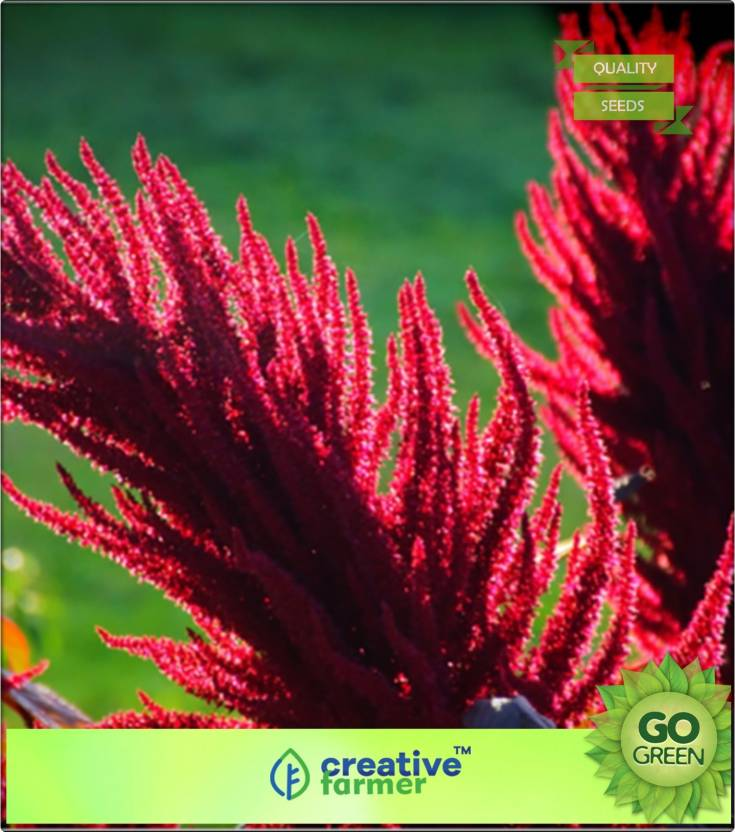 Creative Farmer Prince Of Wales Feather Seed Price In India Buy