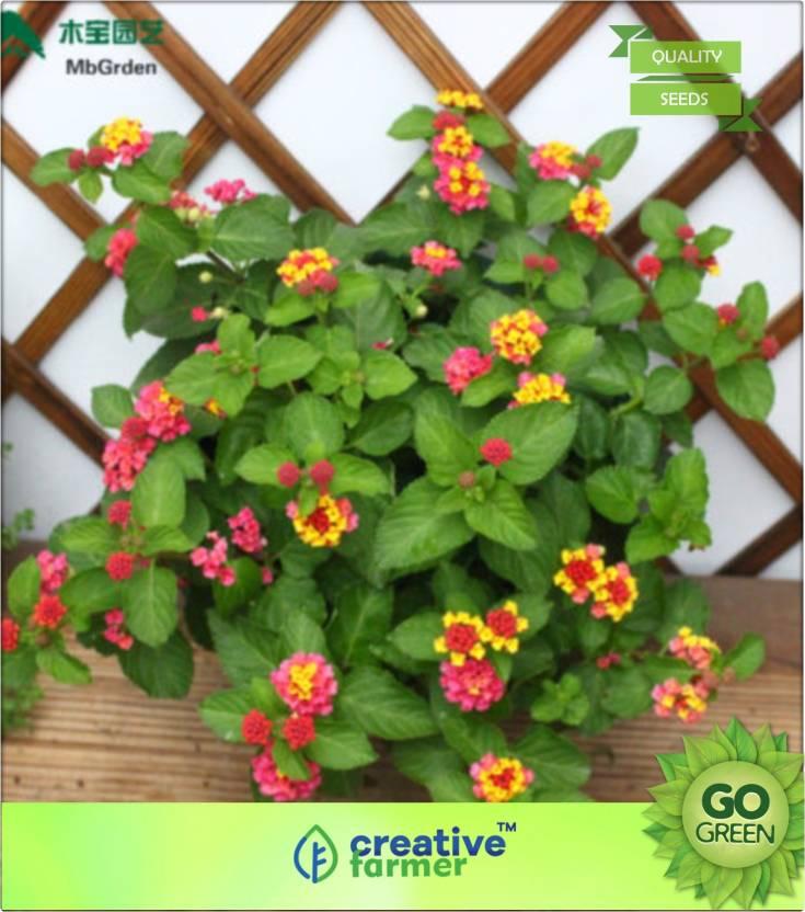 Creative Farmer Lantana Carlos Pink Plant Stunning Flower Shurb Seed