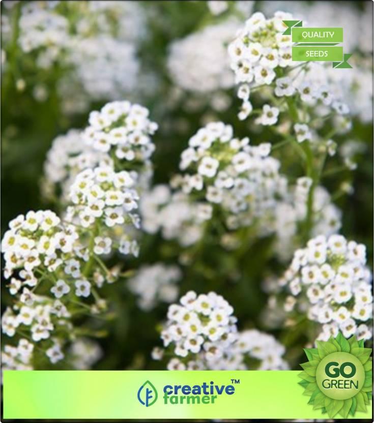 Creative Farmer Alyssum Snow Carpet Seed Price in India - Buy