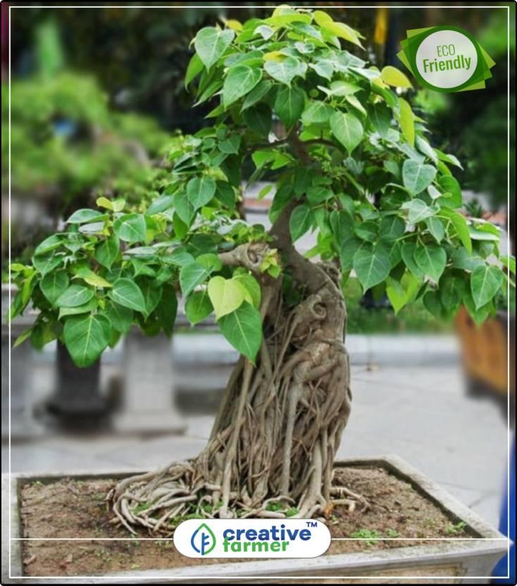Creative Farmer Air Purification Tree Ficus Caudata Seeds