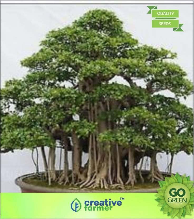 Creative Farmer Ficus Benghalensis