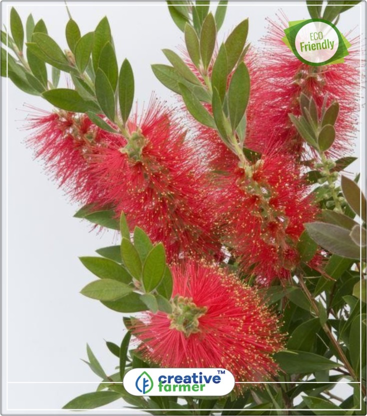 Bottle brush flowers of india