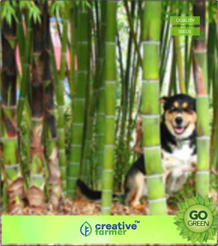 Creative Farmer Bamboo Seeds For Farming Bamboo Seeds Seed