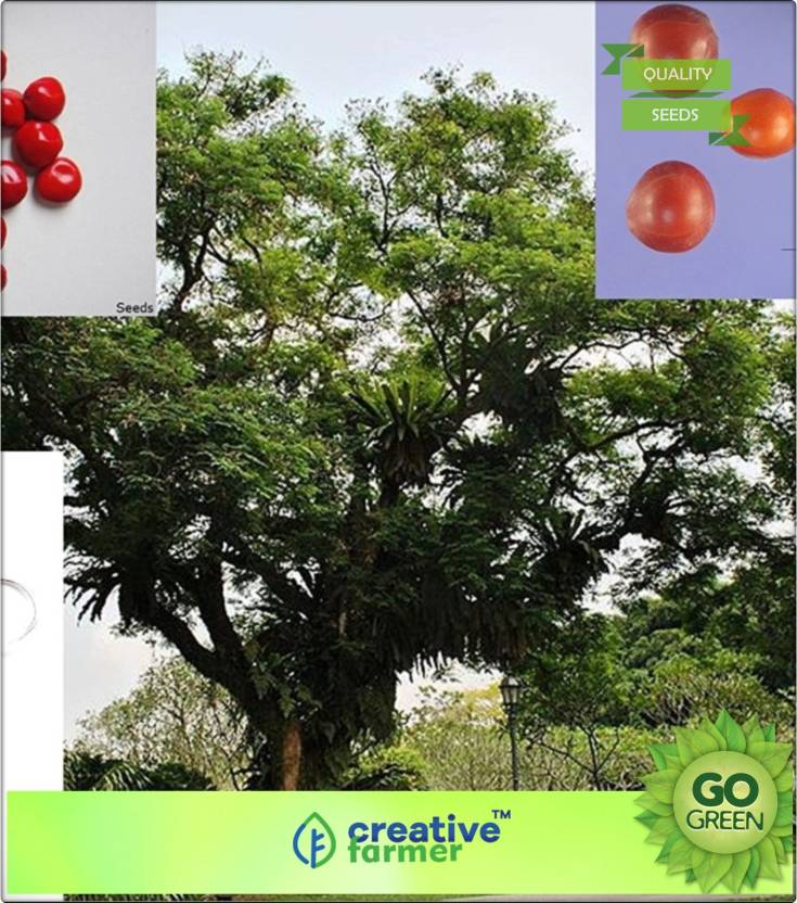 Creative Farmer Lucky Plants For Home Red Dye Wood Seeds Tree Seeds