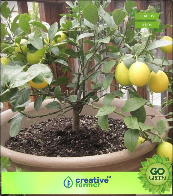 15 Edible Fruit Meyer Lemon Seeds Yard Garden Outdoor Living Plants Seeds Bulbs Exotic Citrus Home Bonsai Lemon Tree Seeds Fibsol Com