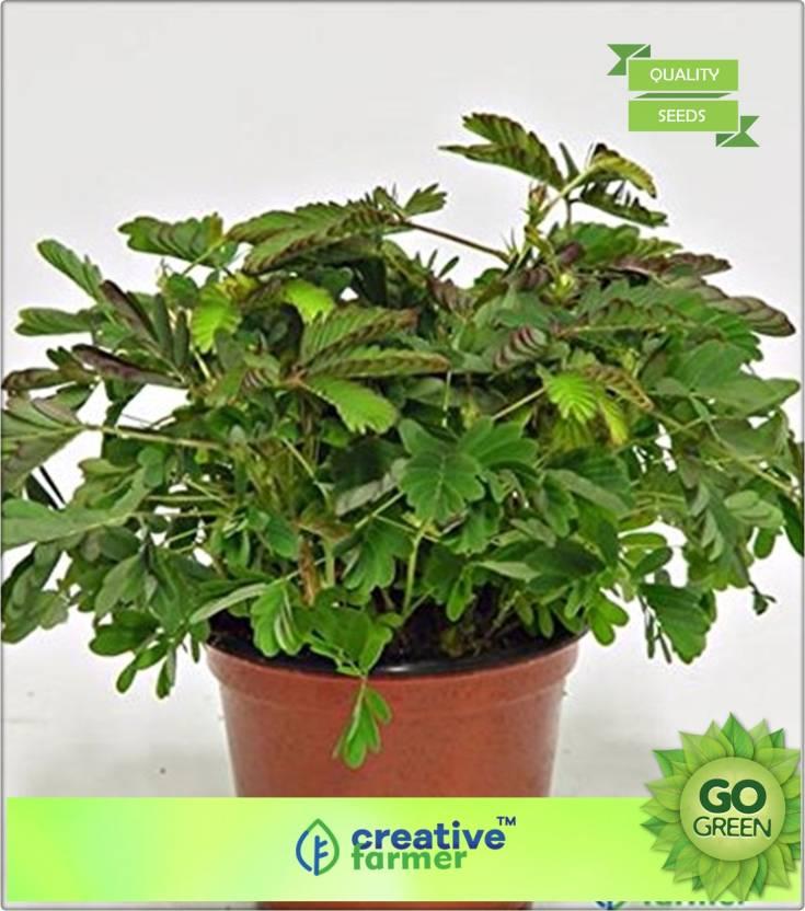 Creative Farmer Mimosa Pudica Seed Price in India - Buy
