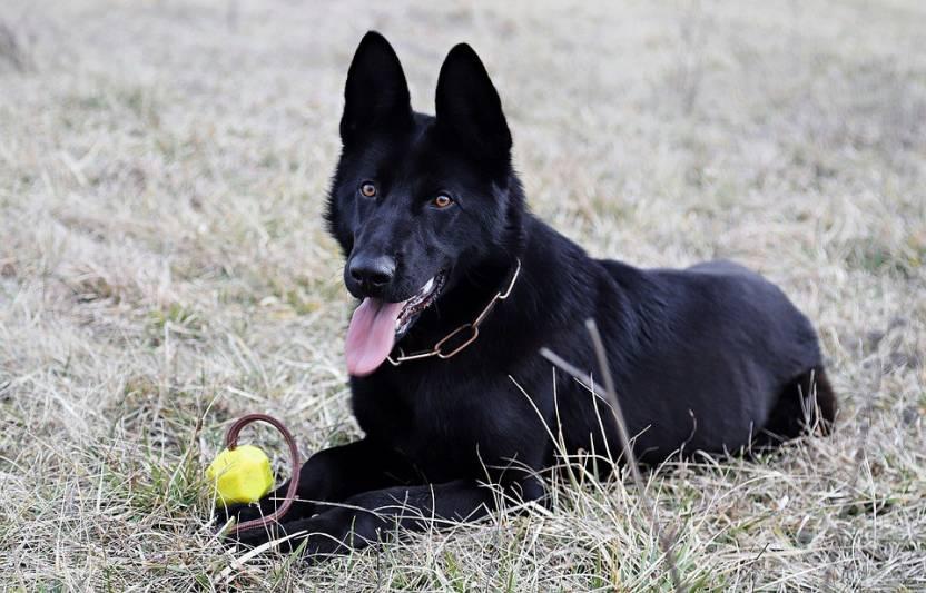 Azohp10546 Black German Shepherd Dog Canine Pet Watchdog Paper Print