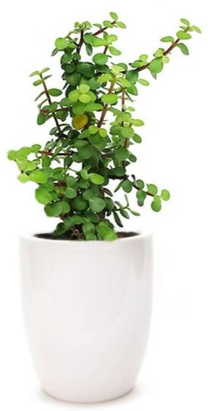 Ojorey Jade Plant Good Luck Bulby Crula