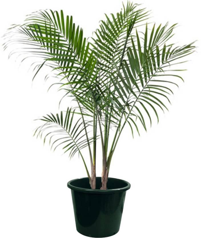 Plantvlant Areca Palm Plant Price In India Buy Plantvlant Areca